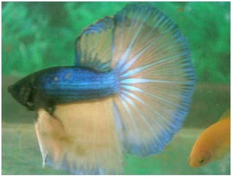 Makanan Ikan Cupang Dari Daun fauna gallery situs binatang hias