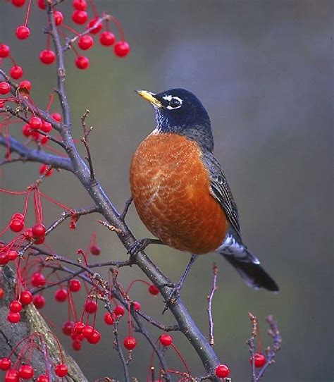 robin bird on pinterest