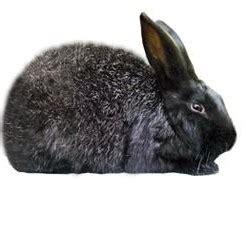 silver fox rabbits usa rabbit breeders