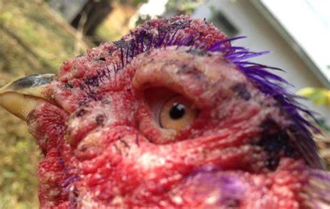 3 rahasia obat mata ayam karena cacingan mata merah dan