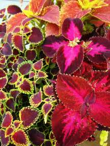 a reliable stunner coleus