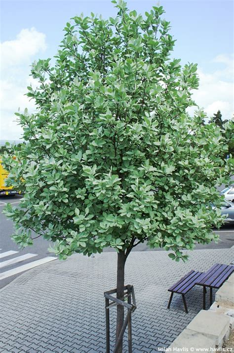 Type Of Trees by Sorbus Aria Lutescens Havlis Cz