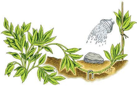 perkembangbiakan vegetatif buatan kependidikancom