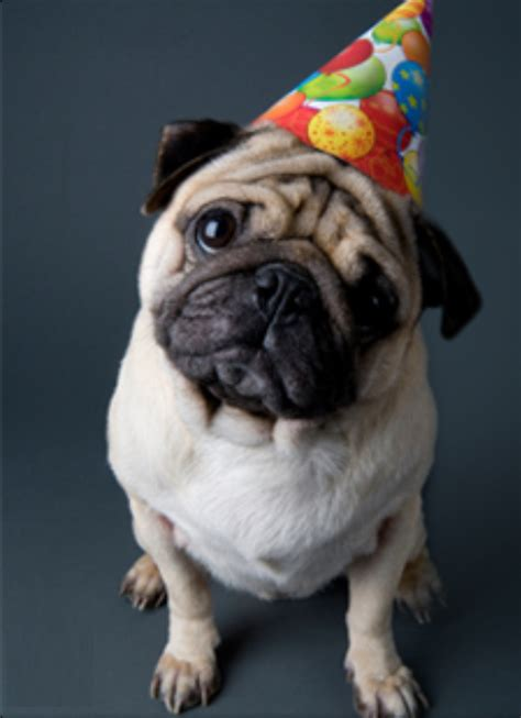 pugs with hats awww a pug wearing a birthday hat he look sad www kube studios 1