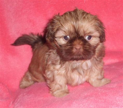 shih tzu colours gorgeous 1 2 imperial shih tzu puppies stunning colours offer