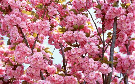 cherry blossom pics cherry blossom yorkshire rose wallpaper 25679997 fanpop