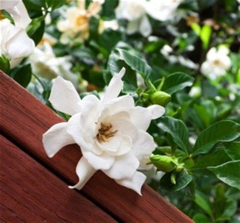 Cool Scents Gardenia January 17 2013 Newsletter