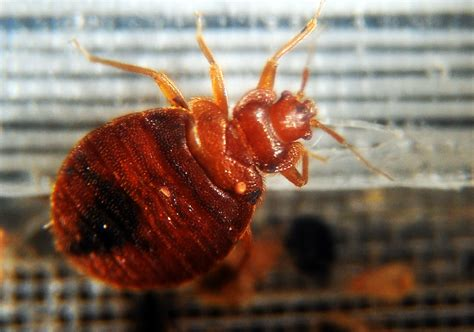 How Are Bed Bugs Made by Why Bed Bugs Made A Horrifying Comeback Vox