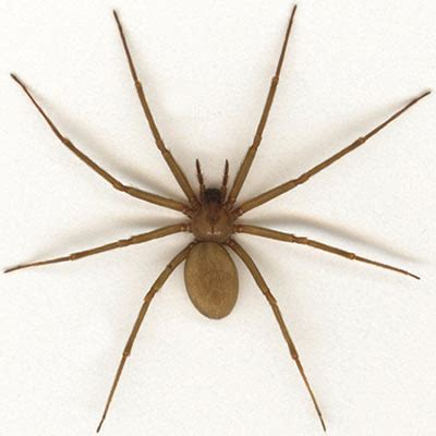 eye pattern of brown recluse epp 7301 spiders brown recluse black widow and other