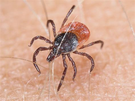 tick fever in dogs tick fever causes symptoms treatment tick fever