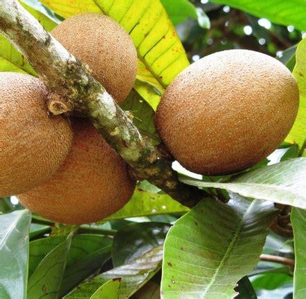 Bibit Buah Sawo tanaman sawo manila jual tanaman hias