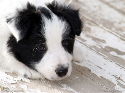 pictures of border collie puppies border collie puppy