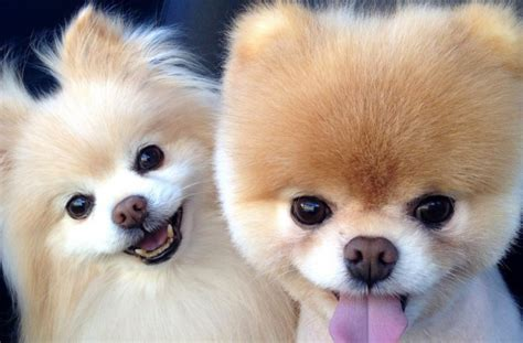 baby pomeranian pictures baby pomeranian puppies hd pictures popsugar pets www pomariyan cat picher