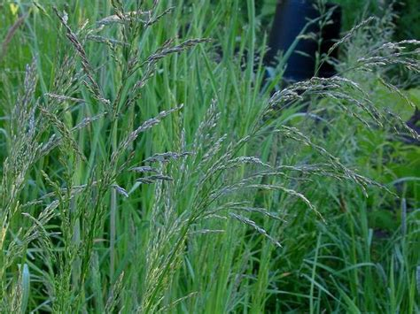 Bluegrass Upholstery Ky by Garden Flower Blue Grass 187 Design And Ideas