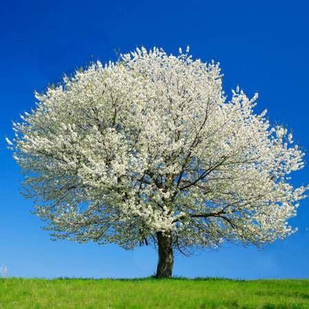 cherry tree yoshino tree trunks and underwriting uberwriter