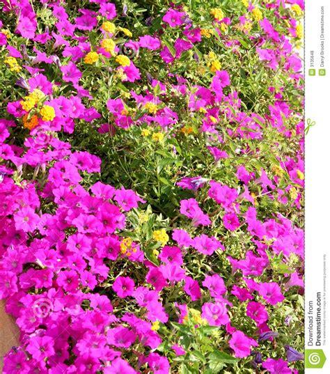 imagens de flores e rosas flores roxas e amarelas fotos de stock royalty free