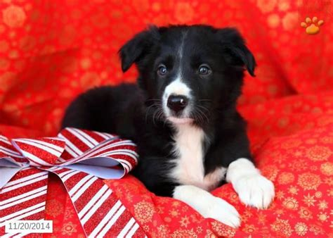collie puppies for sale in pa 17 best border collie images on beautiful dogs border collie puppies and
