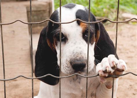 treeing walker coonhound puppies treeing walker coonhound breed information pictures characteristics facts