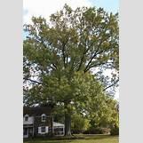Eastern Redbud Leaves | 2336 x 3504 jpeg 5886kB