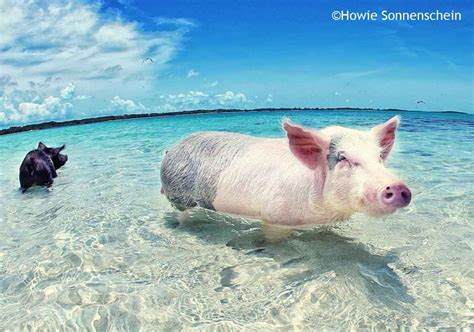 pig the pigs in paradise the swimming pigs of exuma beachmeter