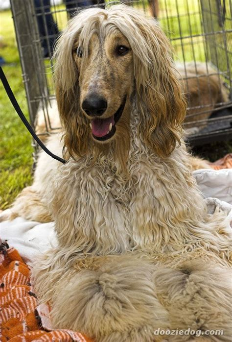 afghan breed breeds afghan hound breeds picture