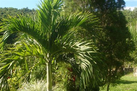 tipi di palme da giardino giardinaggio palme impianto e coltivazione