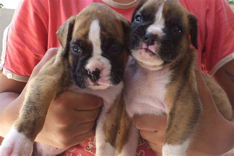 black and white boxer puppies for sale boxer puppies for sale bazar