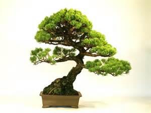goyomatsu japanese macro bonsai tree export