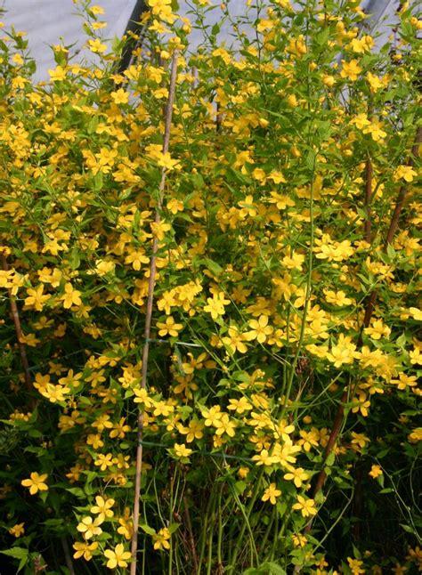 ranunkelstrauch kerrie kerria japonica baumschule