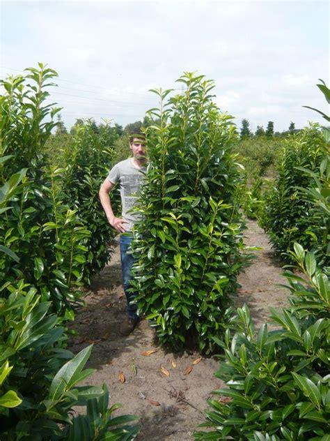 Kirschlorbeer Hecke Welche Sorte 2400 by 08 Kirschlorbeer Genolia Prunus Laurocerasus Genolia