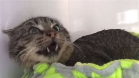 aggressive rescue aggressive rescue cat meets foster kittens then everything changes top13