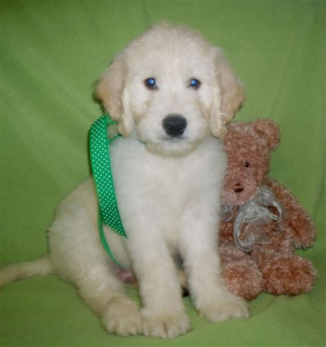 goldendoodle puppy application hug a goldendoodles puppy application