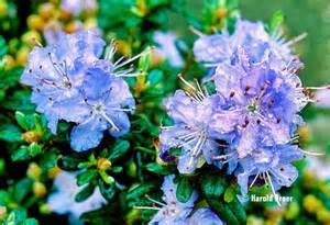 Dwarf rhododendron sapphire agm pale blue flowers garden shrub plant