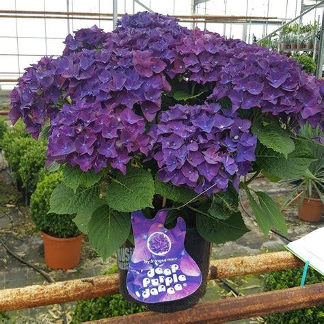 Hortensia Purple award winning hortensia macrophylla purple 5 litre delivery by charellagardens