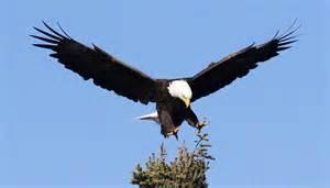 national bird of united states bald eagle 123countries com
