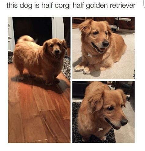 golden retriever corgi this is half corgi half golden retriever corgi meme on sizzle