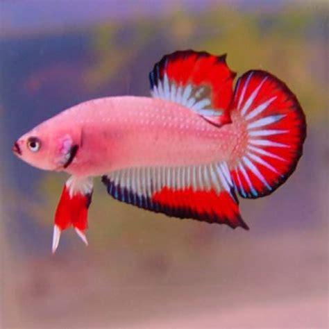 peluang usaha budidaya ikan indonesia peluang usaha budidaya ikan cupang plakat dan analisa
