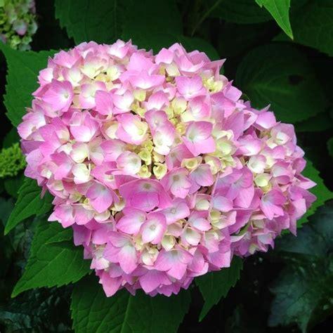 enjoy your hydrangea flowers year round wiesner bros