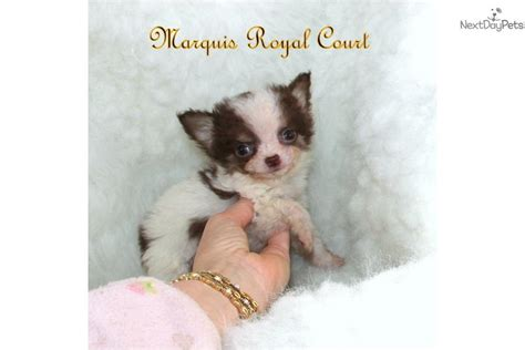 free puppies in hattiesburg ms chihuahua puppy for sale near hattiesburg mississippi f046e3a2 4e81