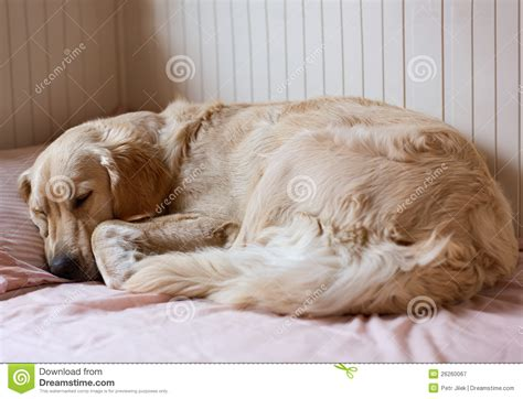 dog sleeping on bed dog sleeping on the bed royalty free stock photography
