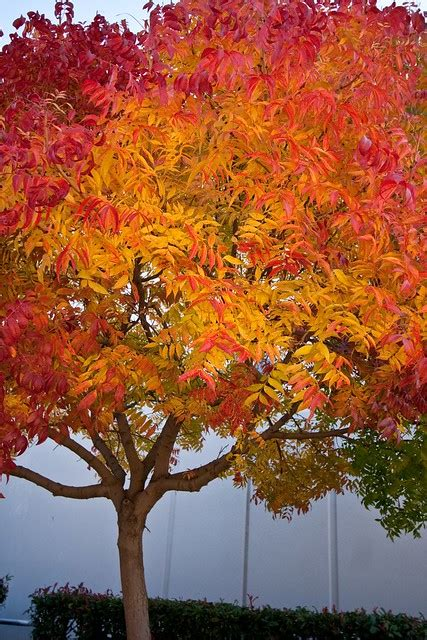 chinese pistache tree  flickr photo sharing