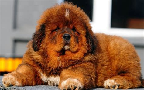 tibetan mastiff puppy tibetan mastiff all big breeds