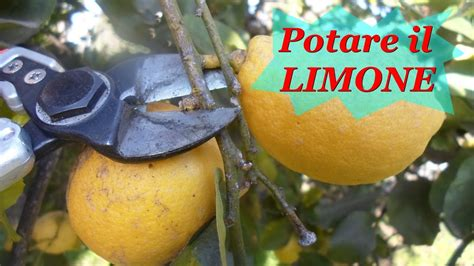 come potare limoni in vaso potare il limone