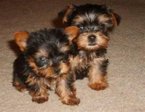teacup yorkie rescue nc 200 best images about teacup dogs on yorkie puppies for sale yorkie for