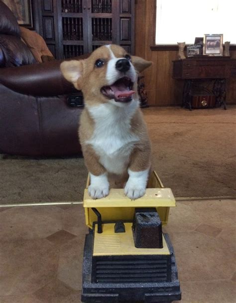 corgi puppies for sale washington pembroke corgi puppies for sale vancouver wa 217283
