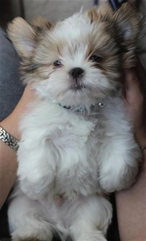 shih tzu cost how much does a shih tzu puppy cost many