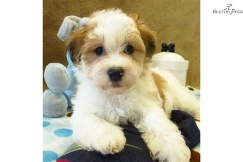 havanese puppies for sale houston havanese puppy for sale near houston 2d02c802 ce21