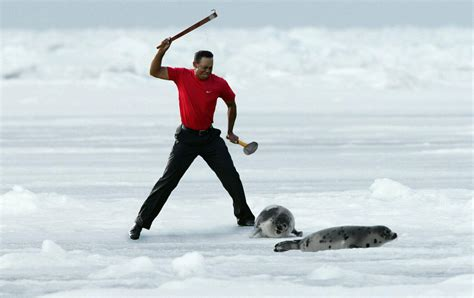 baby seal cub tiger woods throws his cap photoshopbattles