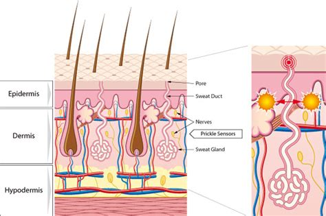 cross section of the skin how skin marvel works