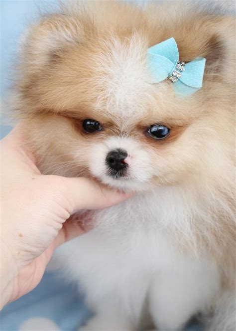 where to sell puppies tiny teacup pomeranians and pomeranian puppies for sale by